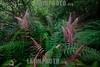 Argentina : Hard fern of the Blechnum genus , Calilegua National Park , Salta province / Argentinien : Farn im Nationalpark Calilegua © Silvina Enrietti/LATINPHOTO.org