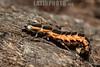 Argentina : firefly larva , El Rey National Park , Salta province / Argentinien : Larve © Silvina Enrietti/LATINPHOTO.org