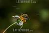 Argentina : Avispa - Augochloropsis , género de himenópteros apócritos de la familia Halictidae / Augochloropsis sp. , bee of the Halictidae family , in an Asteraceae flower , El Rey National Park , Salta province / Argentinien : Insekt - Hautflügler - Wespe © Silvina Enrietti/LATINPHOTO.org