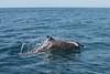 Costa Rica : Delfin Azul en Bahia Ballena en el pacífico Sur de Costa Rica / Blue dolphin in Bahia Ballena / Costa Rica :  Blauer Delfin in Bahia Ballena © Carlos León/LATINPHOTO.org