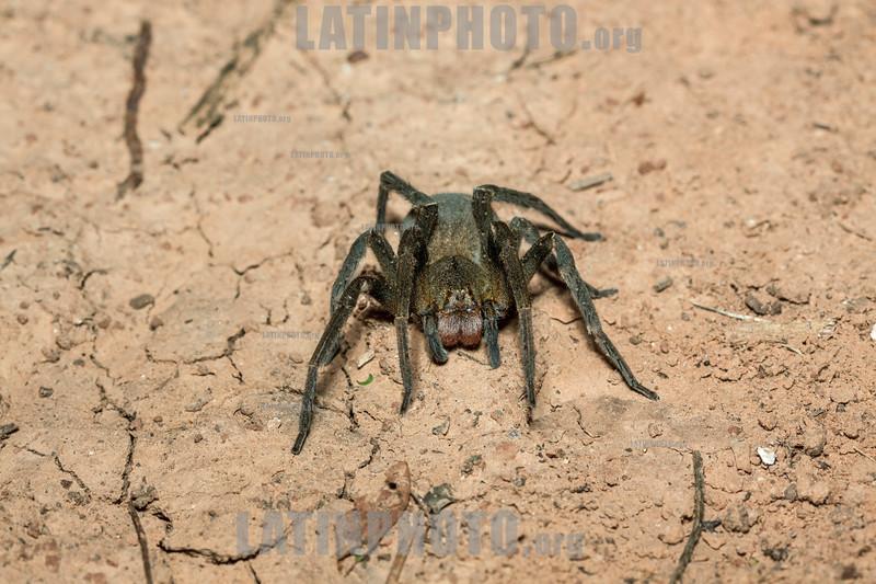 Argentina : Wandering spider ( Phoneutria nigriventer ) female , El Rey National Park , Salta province . This is the first Phoneutria nigriventer photographed in El Rey National Park/ Argentinien : Spinne © Silvina Enrietti/LATINPHOTO.org