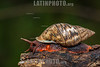 Argentina : Land snail of the Bulimulinae subfamily , El Rey National Park , Salta province / Argentinien : Schnecke © Silvina Enrietti/LATINPHOTO.org