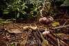 Argentina : Jungle soil , Calilegua National Park , Jujuy province / Argentinien : Pilze im Wald © Silvina Enrietti/LATINPHOTO.org