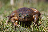 Argentina : Telmatobius sp. , Santa Catalina , Jujuy province / Argentinien : Frosch © Silvina Enrietti/LATINPHOTO.org