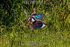 Argentina , Amazonetta brasiliensis © Enrietti