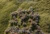 Argentina : Yareta or llareta ( Azorella compacta , also known as Llareta / Azorella compacta , Jujuy province / Argentinien : Yareta ( Azorella compacta )  Llareta , Pflanzenart aus der Familie der Doldenblütler - Apiaceae © Silvina Enrietti/LATINPHOTO.org