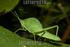 Argentina : saltamontes / Prionacris compressa , Baritú National Park , Salta province / Argentinien : Grüne Heuschrecke - Insekt © Silvina Enrietti/LATINPHOTO.org