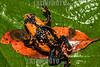 Argentina : Melanophryniscus rubriventris es una especie de anfibios de la familia Bufonidae / Red - bellied toad ( Melanophryniscus rubriventris ) , Calilegua national Park , Jujuy province / Argentinien : Frosch © Silvina Enrietti/LATINPHOTO.org