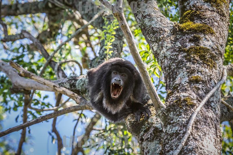Argentina : mono aullador negro (Alouatta caraya) / howling black-monkey (Alouatta caraya), Chaco húmedo, Chaco, Argentina / Argentinien : © Silvina Enrietti/LATINPHOTO.org
