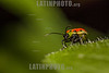 Argentina : Beetle of Chrysomelidae family , El Rey National Park , Salta province / Argentinien : Insekt - Käfer © Silvina Enrietti/LATINPHOTO.org