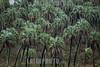 Argentina : Palmera Yatay - Pal tree ( Syagrus yatay ) El Palmar -  National Park , Entre Ríos province / Argentinien : Palmen in Palmera Yatay © Silvina Enrietti/LATINPHOTO.org