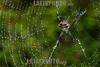 Argentina : Argiope argentata , araña tigre , especie de araña araneomorfa de la familia Araneidae / silver argiope ( Argiope argentata ) , El Rey National Park , Salta province / Argentinien : Argiope argentata , Spinne aus der Familie der Echten Radnetzspinnen © Silvina Enrietti/LATINPHOTO.org