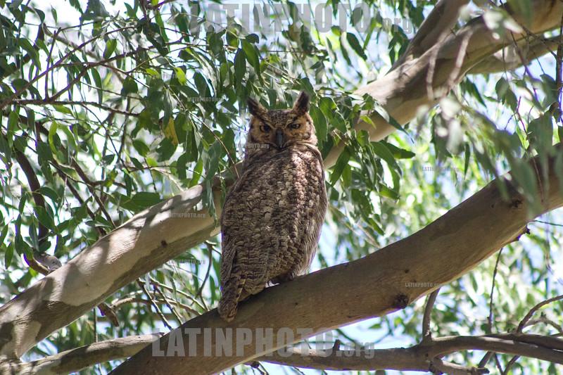 Argentina : Ñacurutú ( Bubo virginianus ) Iberá , Corrientes / Great horned owl (Bubo virginianus). Iberá , Corrientes province / Argentinien : Virginia - Uhu © Silvina Enrietti/LATINPHOTO.org