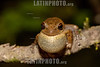 Argentina : Rana / Hypsiboas sp.male , El Rey National Park , Salta province / Argentinien : Frosch - Laubfrosch © Silvina Enrietti/LATINPHOTO.org