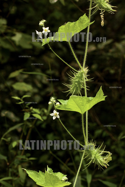 Argentina : Echinopepon racemosus , El Rey National Park , Salta province / Argentinien : Pflanze - Natur © Silvina Enrietti/LATINPHOTO.org