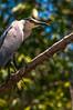 Costa Rica : Ave en la reserva natural de Cipanci / Heron ( Chocuaco ) Cipanci Wildlife Reserve , Guanacaste - Site of International RAMSAR importance / Costa Rica : Vogel im Naturschutzgebiet Cipanci © Victor Jaramillo/LATINPHOTO.org