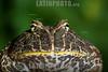 Argentina : Ceratophrys es un género de anfibios anuros de la familia Ceratophryidae / escuerzo chaqueño (Ceratophrys cranwelli). Campo a 23 km al N del paraje Tres Palmas, provincia de Chaco / Cranwell's horned-frog (Ceratophrys cranwelli), province of Chaco / Argentinien : Hornfrösche oder Schmuckhornfrösche ( Ceratophrys ) sind eine Gattung der Froschlurche - Frosch  Frösche © Silvina Enrietti/LATINPHOTO.org