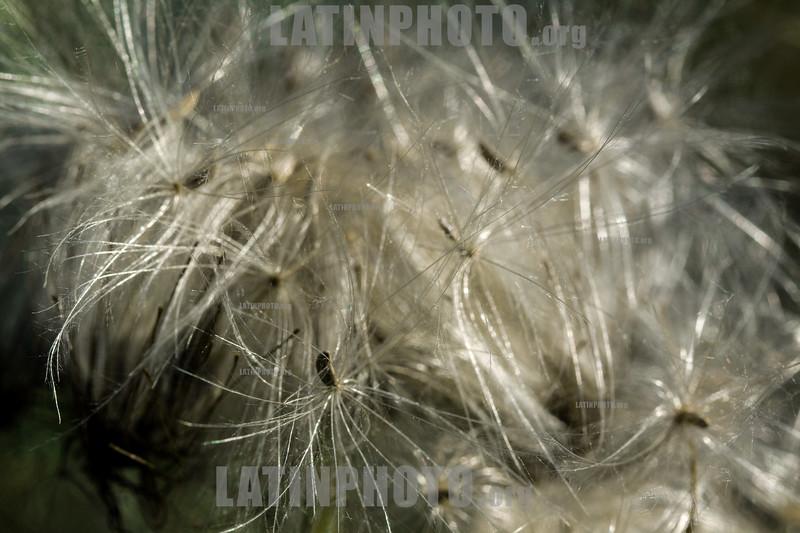 Argentina : Flying seeds , Salta province / Argentinien : Natur © Silvina Enrietti/LATINPHOTO.org