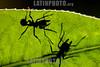 Argentina : leafcutter ant ( Acromyrmex sp. ) , Salta province / Argentinien : Ameisen auf Blätter © Silvina Enrietti/LATINPHOTO.org