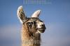 Argentina : Lama in Jujuy Province / Lama glama , Jujuy province / Argentinien : Lama in der Provinz Jujuy © Silvina Enrietti/LATINPHOTO.org