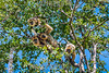 Argentina : mono aullador negro ( Alouatta caraya ) / howling black - monkey ( Alouatta caraya ) Chaco húmedo , Chaco , Argentina / Argentinien : Schwarzer Brüllaffe - Brüllaffen - Affen in der Provinz Chaco © Silvina Enrietti/LATINPHOTO.org
