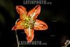 Argentina : Caiophora lateritia , Calilegua National Park , Jujuy province / Argentinien : Blume © Silvina Enrietti/LATINPHOTO.org