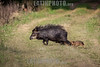 Argentina : Tayassu pecari , llamado comúnmente pecarí barbiblanco , pecarí labiado , huangana , manao , cafuche , chacure, tañí katí , senso , tropero , tatabra  , coyámel y saíno ( nahuatlismo de coyametl ) especie de mamífero artiodáctilo de la familia Tayassuidae / white-lipped peccary ( Tayassu pecari ) , El Rey National Park , Salta province / Argentinien : Weißbartpekari - Weissbartpekari - Weissbartpekari ( Tayassu pecari ) Art der Nabelschweine © Silvina Enrietti/LATINPHOTO.org