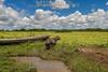 Argentina : Alpincho , capibara , chigüiro / Caybara ( Hydrochaeris hydrochaeris ) , the largest living rodent in the world , Iberá , Corrientes province / Argentinien : Capybara - Wasserschwein - Säugetierart aus der Familie der Meerschweinchen ( Caviidae ) © Silvina Enrietti/LATINPHOTO.org