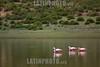 Argentina : Flamingo ( Phoenicopterus chilensis ) , Biosphere reserve Cuenca de Pozuelos , Puna , Jujuy province / Argentinien : Flamingo ( Phoenicopterus chilensis ) , Biosphärenreservat Cuenca de Pozuelos , Puna , Provinz Jujuy © Silvina Enrietti/LATINPHOTO.org