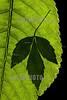 Argentina : Allophylus edulis leaf shadow , El Rey National Park , Salta province / Argentinien : Blatt - Natur © Silvina Enrietti/LATINPHOTO.org