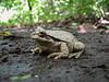 Costa Rica : En el Parque Nacional Santa Rosa en Guanacaste Costa Rica , después de la lluvia , las ranas y los sapos salen y es cuando hay más probabilidades de ver muchos especímenes / Toad in the Santa Rosa National Park in Guanacaste / Costa Rica : Kröte im Nationalpark Santa Rosa in Guanacaste © Carlos León/LATINPHOTO.org
