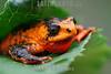 Argentina : Melanophryniscus rubriventris es una especie de anfibios de la familia Bufonidae / Red - bellied toad ( Melanophryniscus rubriventris ) , Baritú National Park , Salta province / Argentinien : © Silvina Enrietti/LATINPHOTO.org