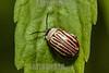 Argentina : Beetle of Chrysomelidae family , El Rey National Park , Salta province / Argentinien : Käfer © Silvina Enrietti/LATINPHOTO.org