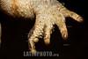 Argentina : Sapo rococo o cururú ( Rhinella schneideri ) . Parque Nacional El Palmar , Entre Ríos / Cururu toad (Rhinella schneideri) . El Palmar National Park, Entre Ríos province / Argentinien : Amphibien Rhinella schneideri - Kröten - Kröte © Silvina Enrietti/LATINPHOTO.org