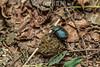 Argentina : Escarabajo pelotero de la familia Scarabaeidae , provincia de Salta / Dung beetle of the Scarabaeidae family , Salta Province / Argentinien : Mistkäfer der Familie Scarabaeidae , Provinz Salta © Silvina Enrietti/LATINPHOTO.org