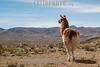 Argentina : Lama glama , Santa Catalina , Jujuy province / Argentinien : Lama in der Provinz Jujuy © Silvina Enrietti/LATINPHOTO.org