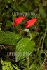 Argentina : Sinningia nematanthodes , El Rey National Park , Salta province / Argentinien : Rote Blumen © Silvina Enrietti/LATINPHOTO.org