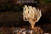 Argentina : clavarioid fungi , El Rey National Park , Salta province / Argentinien : Pilz © Silvina Enrietti/LATINPHOTO.org
