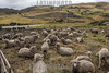 Ecuador : Rebaño de ovejas en el altiplano ecuatoriano / Flock of sheep in the highlands of Ecuador / Ekuador : Schafherde im Hochland in Ecuador © HR Aeschbacher/LATINPHOTO.org