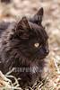 Argentina : Gato o gato doméstico - Felis silvestris catus / Argentinien : Hauskatze © Silvina Enrietti/LATINPHOTO.org