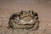 Argentina : Cururu toad ( Rhinella schneideri ) , El Rey National Park , Salta province / Argentinien : Kröte der Gattung Rhinella Schneideri © Silvina Enrietti/LATINPHOTO.org