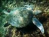 Costa Rica : Tortugas verdes en playa Punta Leona , ellas se alimentan de algas en el fondo del mar - Tortuga Verde , Blanca o Negra - (Chelonia mydas) Los adultos miden hasta 1.5m de largo y llegan a pesar más de 230 kgs - Es la única especie herbívora de las tortugas marinas / Green turtles in Punta Leona beach / Costa Rica :  Grüne Schildkröten am Strand von Punta Leona © Carlos León/LATINPHOTO.org