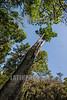 Argentina : Árboles en el Parque Nacional El Rey / young Pacara Earpod Tree ( Enterolobium contortisiliquum ) , El Rey National Park , Salta province / Argentinien : Bäume im Nationalpark El Rey © Silvina Enrietti/LATINPHOTO.org