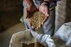 Argentina : La familia Sasaki tiene campos de producción de arroz orgánico en Monte Grande, Provincia de Buenos Aires - granos de arroz / The Sasaki family cultivates organic rice fields in Monte Grande / Argentinien : Die Familie Sasaki pflanzt  Bio - Reisfelder in Monte Grande an - Reiskörner © Augusto Famulari/LATINPHOTO.org