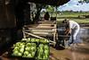 Argentina : Huerta de productos orgánicos - organicos , huerta , verduras , alimentacion , saludable / Farm produces organic vegetables - salad / Argentinien : Landwirtschaftsbetrieb produziert biologisches Gemüse - Salat © Augusto Famulari/LATINPHOTO.org