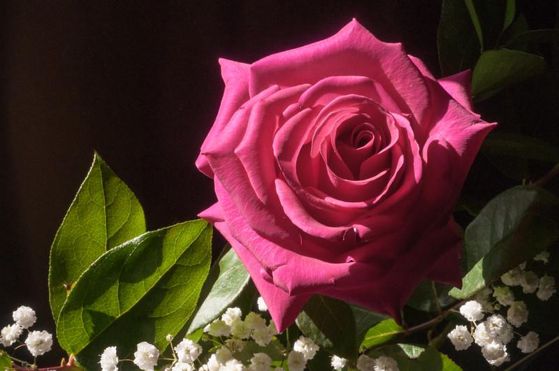 Pink Rose in Sunlight