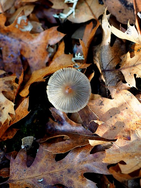 A mushroom sprouting among leaves, Lower Table Rock, Oregon