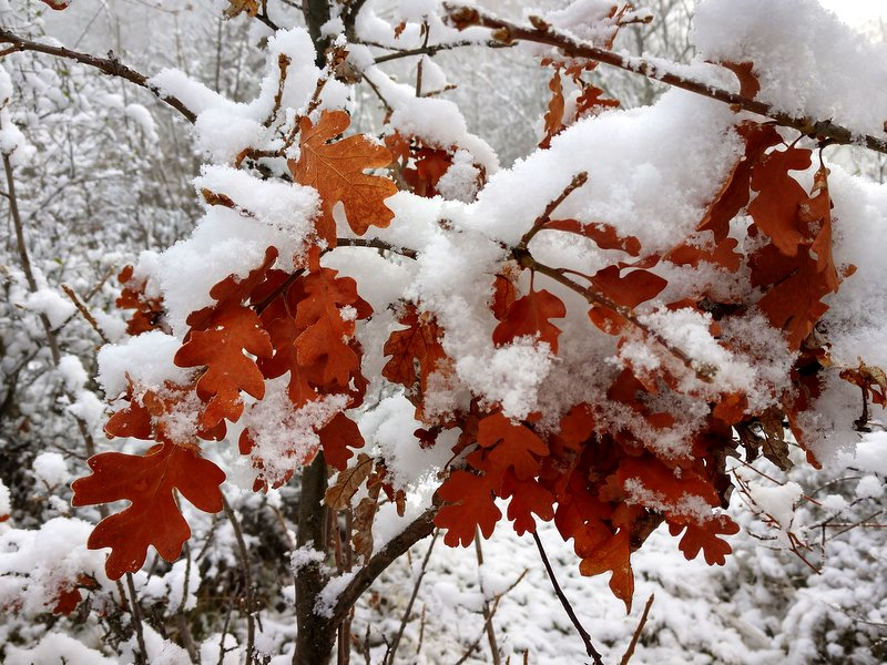 Old oak leaves covered with snow, Prescott Park, Oregon