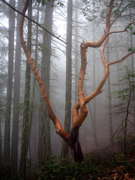 A twisted madrone tree that looks like a sculpture