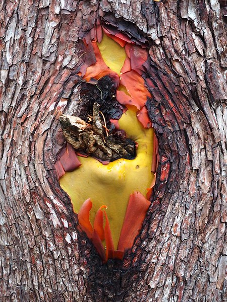 A colorful knot in a madrone tree